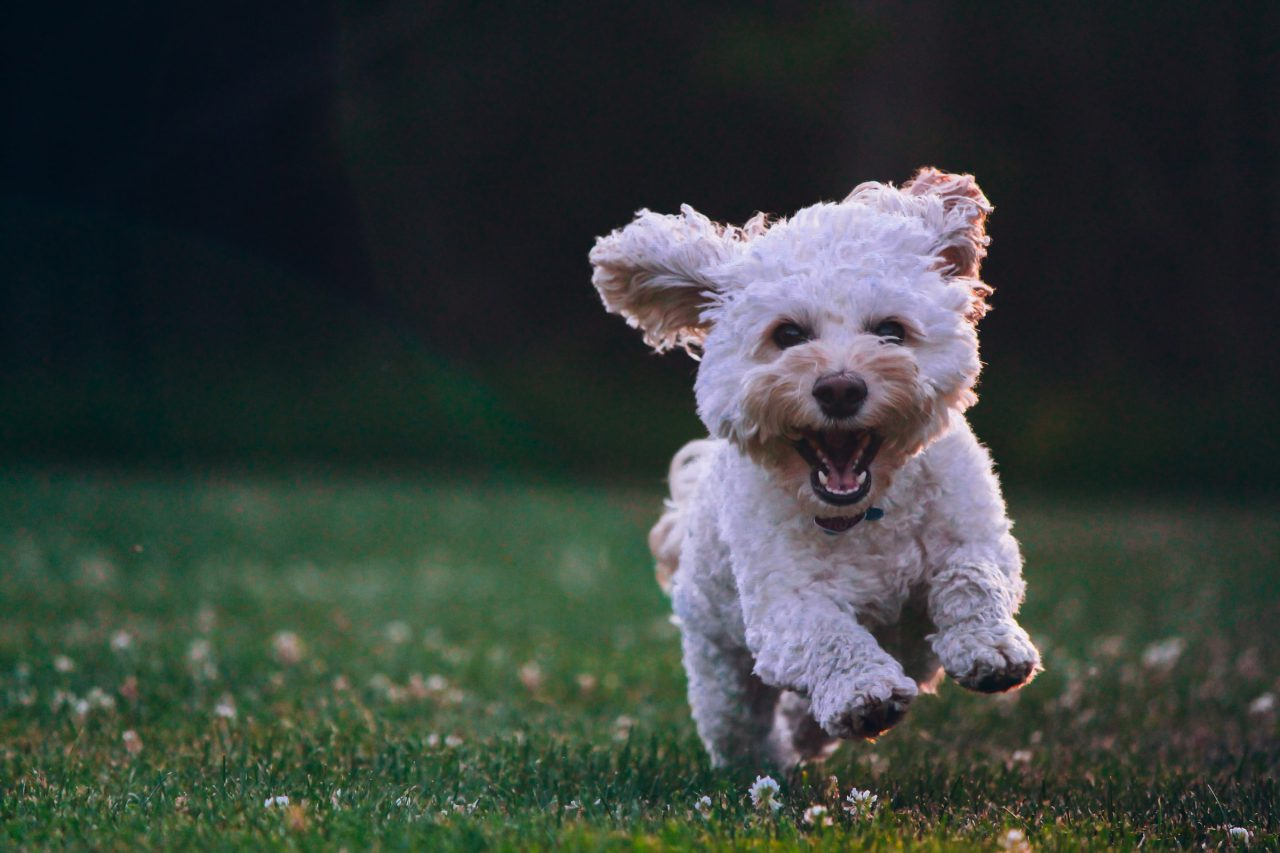 Happy dog runs through grass