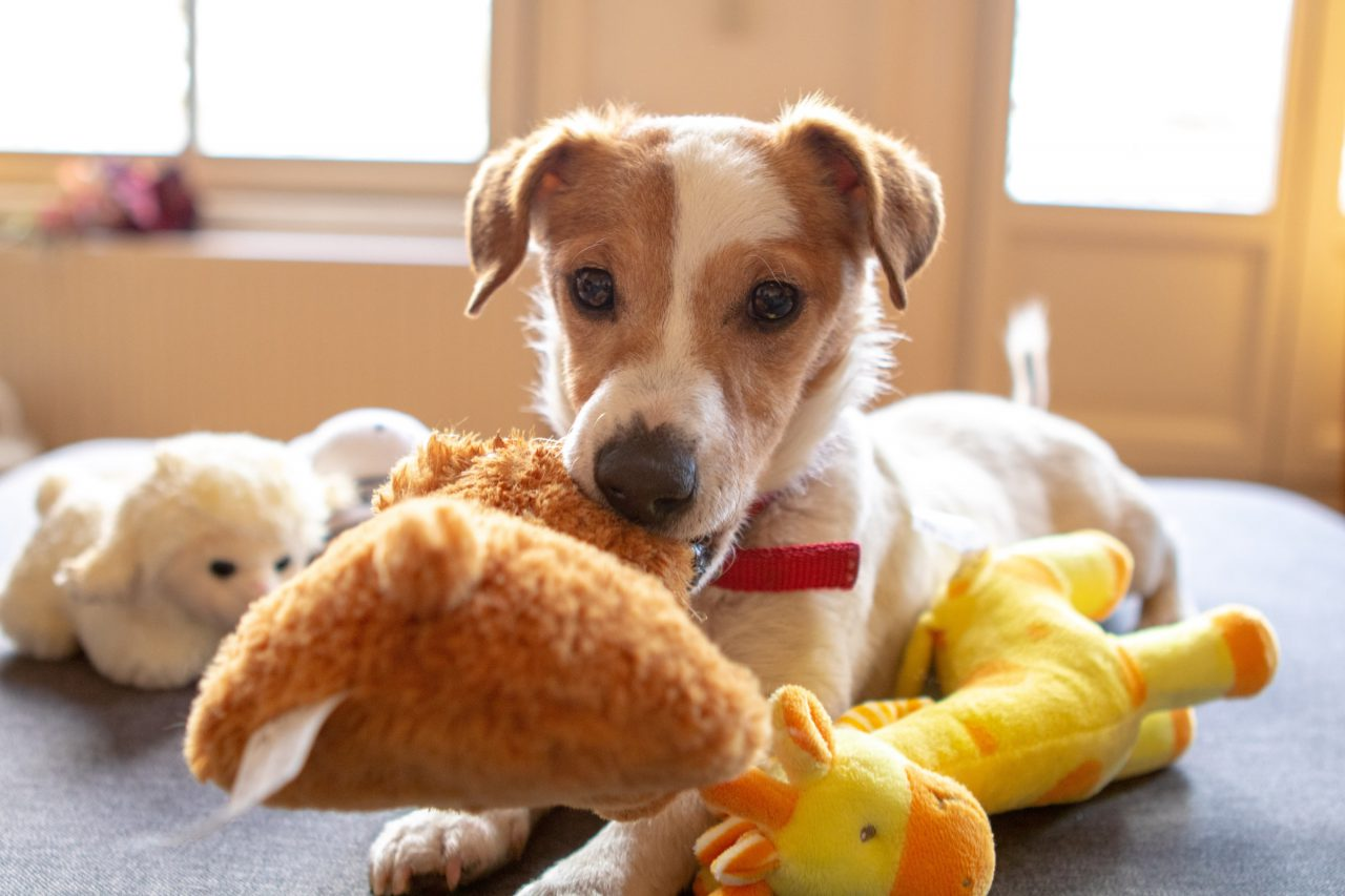 Dog playing with soft toys