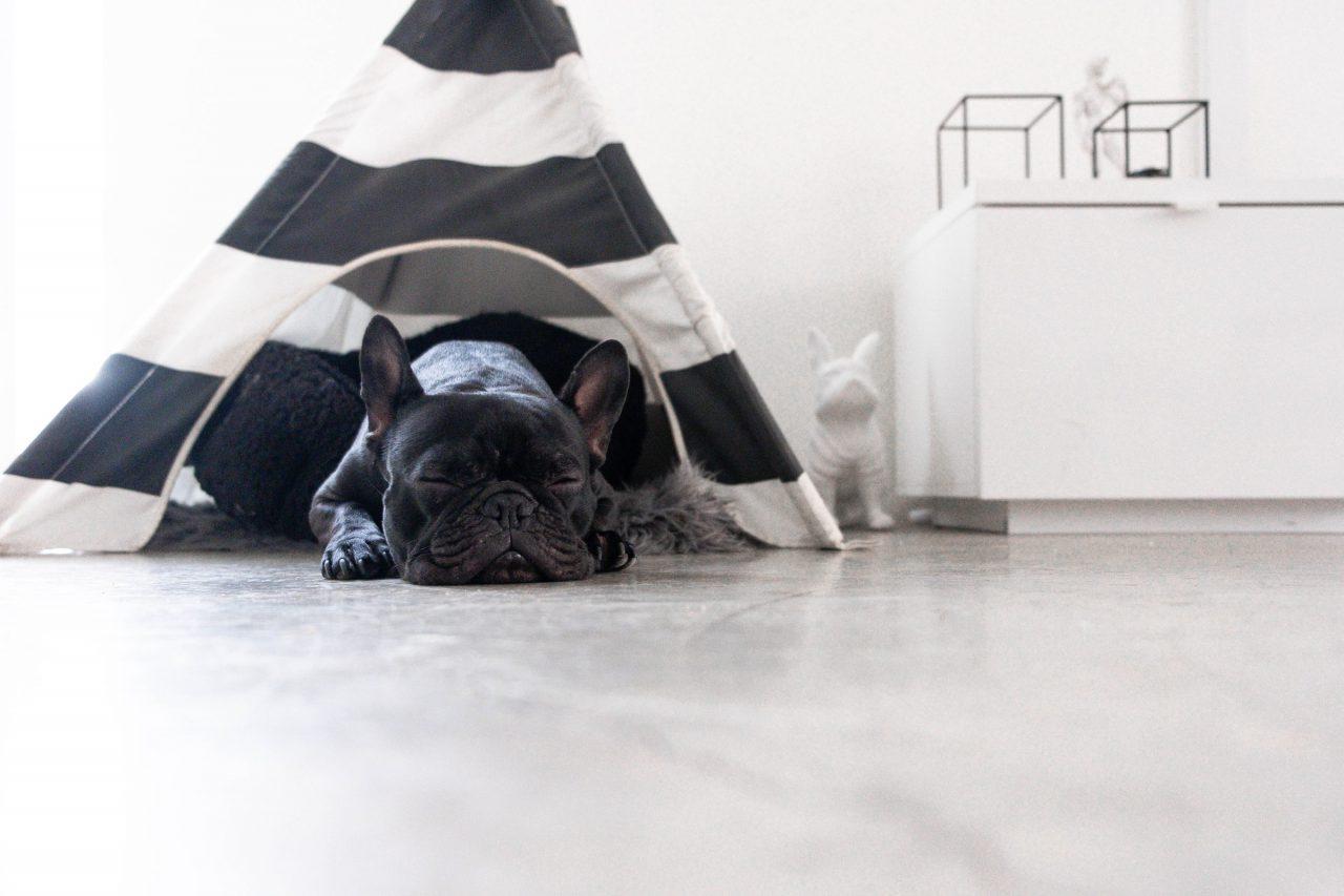 French Bulldog sleeps in teepee