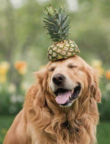 https://www.pawzandme.com.au/wp-content/uploads/2021/05/Can-Dogs-Eat-Pineapple-900x500-1-e1620096976285.jpg
